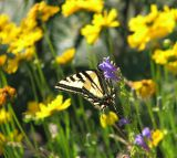 Western Tiger Swallowtail & Penstemon.jpg